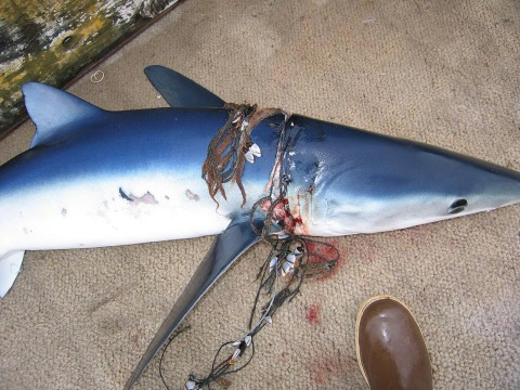 sharks-are-victims-of-marine-debris